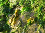 Enteromorpha intestinalis (Linnaeus) Nees, 1820 + Fucus vesiculosus Linnaeus, 1753 