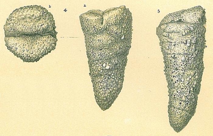 Dorothia pseudoturris