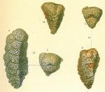 Pseudogaudryina sp.nov1.