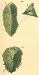 Pseudogaudryina sp.nov2.