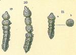 Clavulina humilis