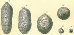 Cylindroclavulina bradyi, author: Tomas Cedhagen