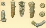 Cribrogoesella robusta