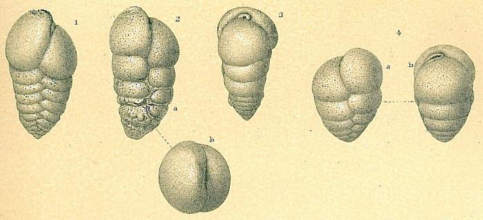 Karreriella bradyi