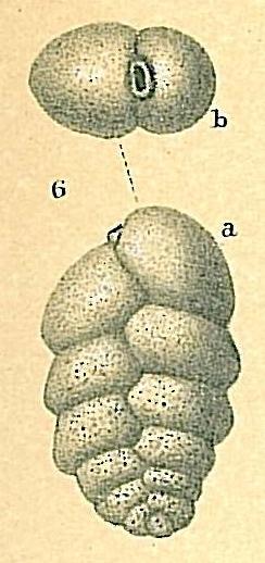 Karreriella chilostoma