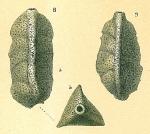 Pseudoclavulina tricarinata