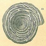 Cornuspira lacunosa