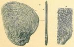 Cornuspiroides striolatus