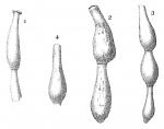 Nodophthalmidium simplex