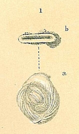 Vertebralina