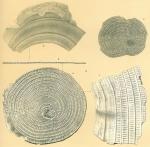 Foraminifera