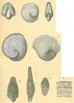 Archaias angulatus