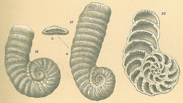 Coscinospira arietina