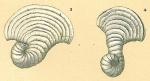 Peneroplis proteus