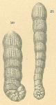 Spirolina cylindracea