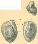 NOT Adelosina bicornis (Walker & Jacob, 1798)