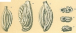 Adelosina granulocostata