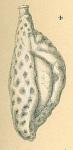 Adelosina reticulata