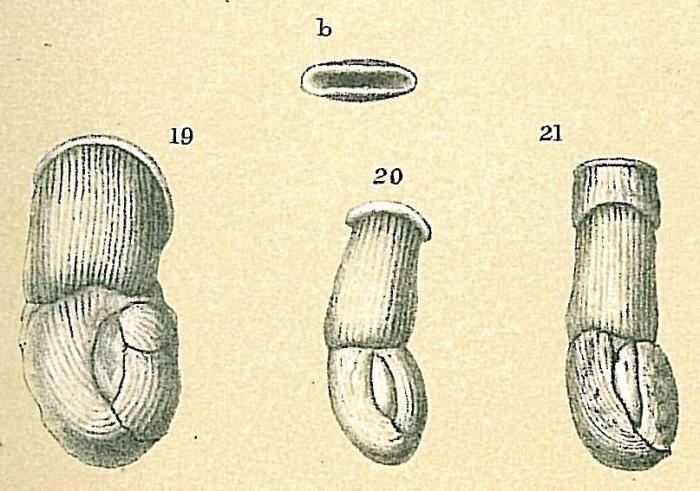 Articularia lineata