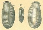 Articularia scrobiculata