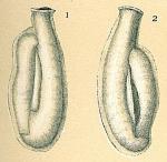 Edentostomina cultrata