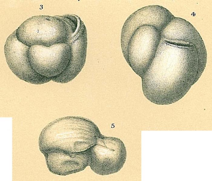 Flintinoides labiosa