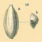 Massilina amygdaloides