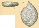 Proemassilina arenaria