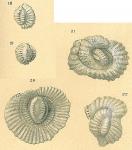 Pseudohauerina orientalis
