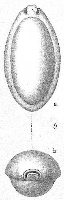 Pyrgo elongata