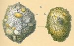 Siphonaperta crassatina