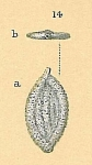 Spiroglutina asperula