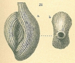 Spiroloculina antillarum