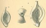 Spiroloculina communis