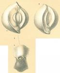 Spiroloculina robusta
