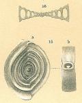 Spiroloculina rotunda