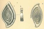 Spiroloculina tenuiseptata