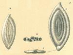 Spirosigmoilina tenuis