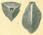 Triloculina bertheliniana
