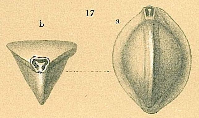 Triloculina tricarinata