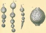 Amphicoryna sublineata