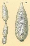 Amphicoryna substriatula