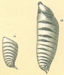 Astacolus bradyi