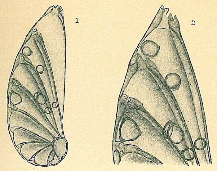 Astacolus crepidulus