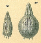 Bifarilaminella advena