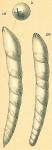 Dentalina bradyensis