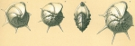 Lenticulina echinata