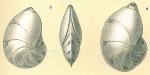 Lenticulina gibba, author: Tomas Cedhagen
