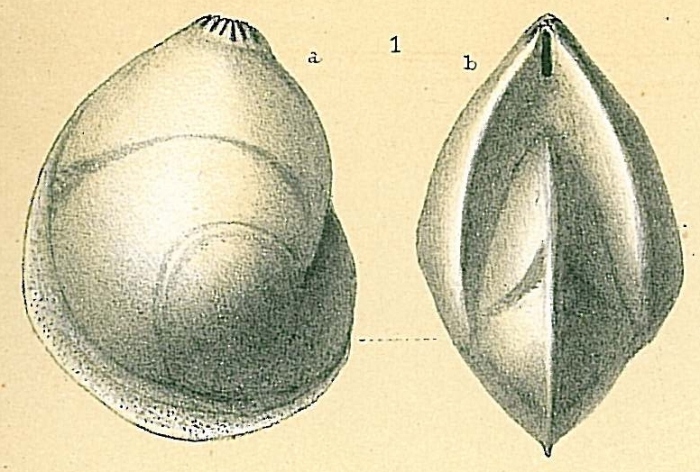 Lenticulina inornata