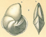 Lenticulina nitida